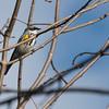 4-25-14  -  Yellow-rumped Warbler 5