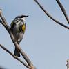 4-25-14  -  Yellow-rumped Warbler 4