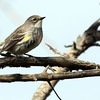 5-17-14 Yellow-rumped Warbler 5