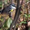 5-6-11 Yellow-rumped Warbler 5
