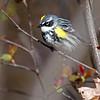 5-6-11 Yellow-rumped Warbler 3