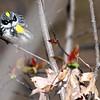 5-6-11 Yellow-rumped Warbler 2