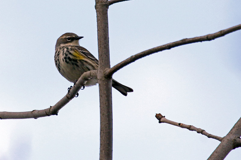 5-17-14 Yellow-rumped Warbler 3