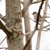 5-16-14 Yellow-rumped Warbler 3