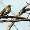 5-17-14 Yellow-rumped Warbler 4