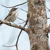 5-16-14 Yellow-rumped Warbler 2