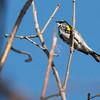 4-25-14  -  Yellow-rumped Warbler 1
