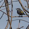 4-25-14  -  Yellow-rumped Warbler 2