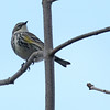 5-17-14 Yellow-rumped Warbler 2