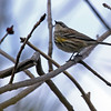 5-17-14 Yellow-rumped Warbler 1