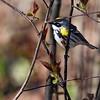 5-6-11 Yellow-rumped Warbler 1