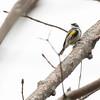 5-16-14 Yellow-rumped Warbler 1