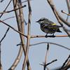 4-25-14  -  Yellow-rumped Warbler 3