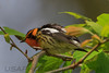 Blackburnian Warbler (b2692)