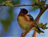 Bay Brested Warbler (b2671)