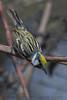 Chestnut Sided Warbler (b2746)