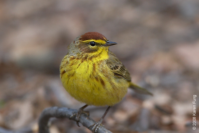 April 14th: Palm Warbler in Riverside Park