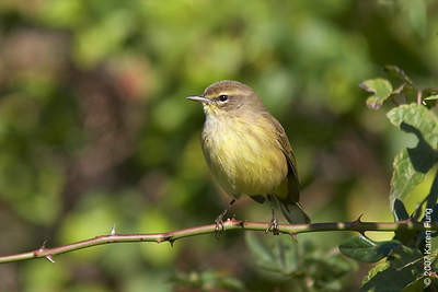 Palm Warbler in Cape May, NJ