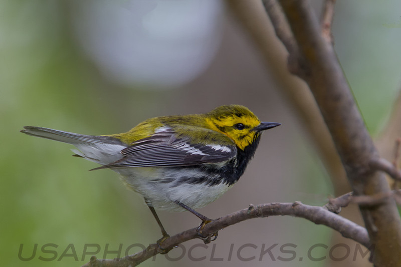 Black Throated Green Warbler (b2706)