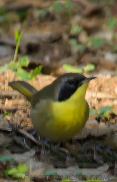 Common Yellow Throat (b3171)