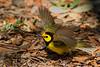 Hooded Warbler (b2753)