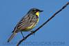 Kirtland's Warbler (b2762)