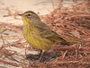 Palm Warbler (b2821)