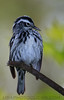 Blabk And White Warbler (b2682)