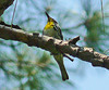 Singing Yellow-throated Warbler