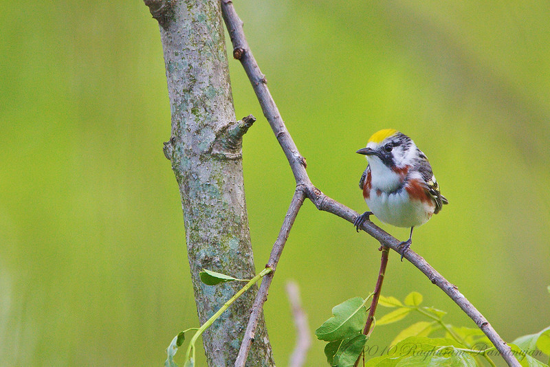 Chestnut-sided Warbler<br /> Ithaca, NY