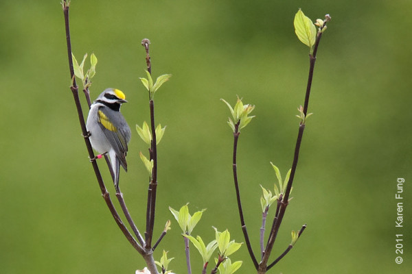 14 May: Golden-winged Warbler at Sterling Forest.  I was pretty far away, so this is heavily cropped.