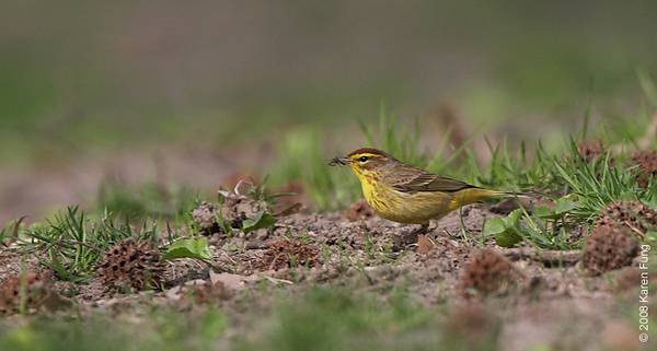 April 20th: Palm Warbler with bug in Riverside Park