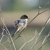 sardinian warbler-male סבכי שחור ראש-זכר