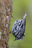 Blabk And White Warbler (b2683)