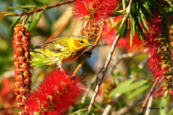 Cape May Warbler - Dauphin Island, AL - April 2017