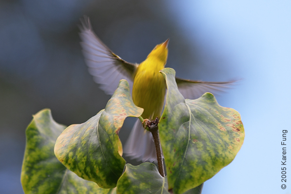 Wilson's Warbler taking flight in the Conservatory Garden of Central Park