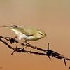 עלווית ירוקה wood warbler