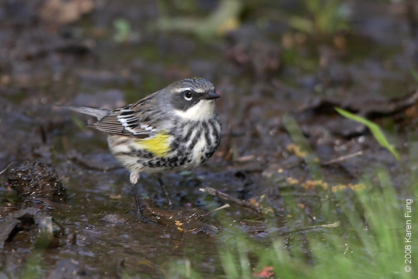 """May 5th: Yellow-rumped Warbler at the Riverside """"drip"""""""