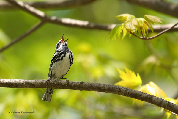 Black-and-white Warbler- Maggie Valley, NC - May 2014