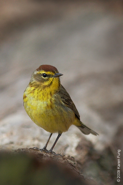 April 23rd: Palm Warbler in Riverside Park