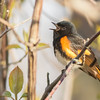 American Redstart, Prince Edward Point National Wildlife Area, Ontario