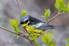 Magnolia Warbler (2782)