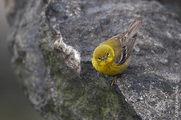 April 7th:  Pine Warbler in Central Park (Belvedere Castle)