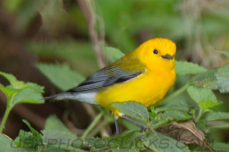 Phothonotary Warbler (b2841)