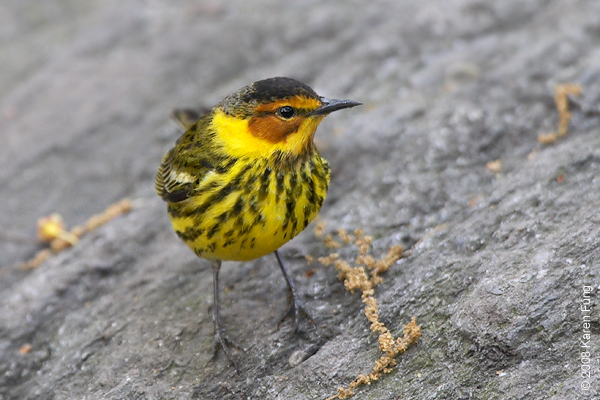 May 7th: Cape May Warbler in Central Park (Tanner's Spring)