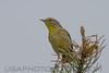 Palm Warbler (b2823)