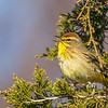 Palm Warbler, Prince Edward Point National Wildlife Area, Ontario