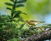Blacburnian Warbler
