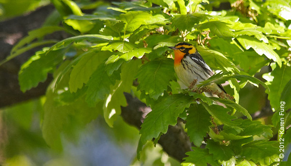 12 May: Blackburnian Warbler in Central Park