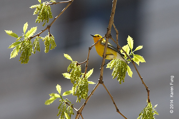 5 May: Prothonotary Warbler in Madison Square Park.  That's the Flatiron Building in the background.